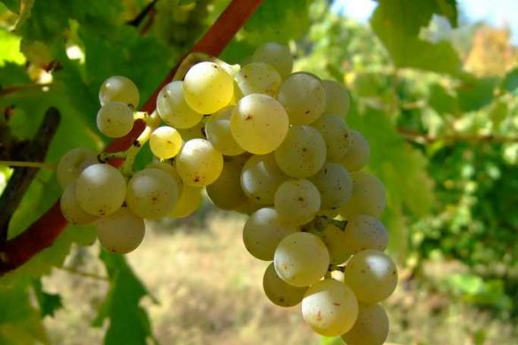 Sauvignon_blanc_1-1
