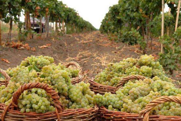 vinograd-v-korzinah-1