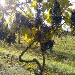 vinogradnik-Berhord-min-3