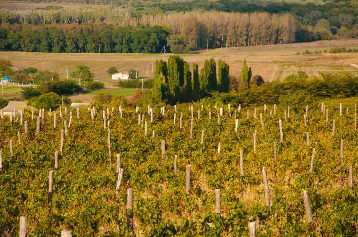 vinogradnikchp2-1