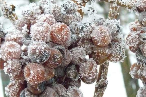ледяной виноград1-1