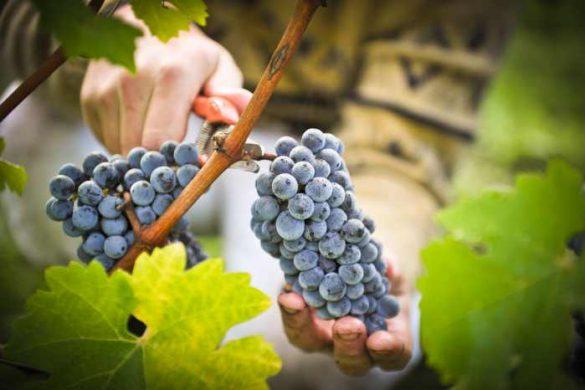 sbor-vinograda-1