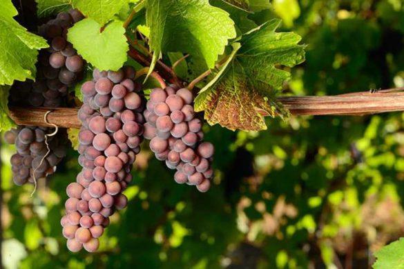 Pinot-Gris-1