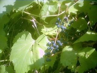 дикий виноград2