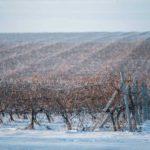 виноградник-WofM-1