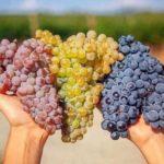 виноград-триколор-1
